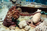 Mating Pair of Day Octopuses Fotoprint van Georgette Douwma