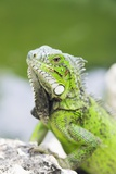 Grüner Leguan Fotografie-Druck von Georgette Douwma