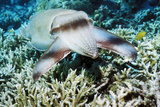 Broadclub Cuttlefish Photographic Print by Georgette Douwma