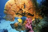 Sea Fan Coral Photographic Print by Georgette Douwma