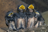 Swallow Chicks Affiches par Georgette Douwma