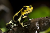Poison Arrow Frog Photographic Print by Angel Fitor