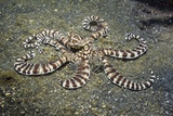 Mimic Octopus Fotoprint van Georgette Douwma