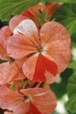 Pelargonium Hortorum 'Speckled' Flowers Prints by Vaughan Fleming