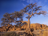 Camel Thorn Tree (Acacia Erioloba) Poster by Bob Gibbons