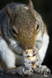 Grey Squirrel Photographic Print by Georgette Douwma