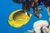 Red Sea Racoon Butterflyfish Photographic Print by Georgette Douwma