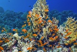 Lyretail Anthias Females And Corals Photographic Print by Georgette Douwma
