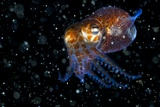 Atlantic Bobtail Squid Photographic Print by Angel Fitor
