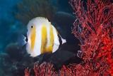 Orange-banded Coralfish Feeding Photographic Print by Georgette Douwma