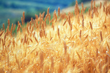 Field of Organically-grown Wheat (Triticum Sp.) Photographic Print by Mauro Fermariello