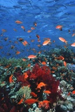 Lyretail Anthias And Fusiliers Photographic Print by Georgette Douwma