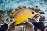 Yellow Chromis on Leather Coral Photographic Print by Georgette Douwma