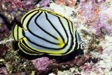 Meyer's Butterflyfish on a Reef Photographic Print by Georgette Douwma