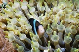 Clarke's Anemonefish Photographic Print by Georgette Douwma