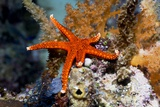Red Seastar Photographic Print by Georgette Douwma