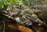 Malagasy Burrowing Frogs Mating Photographic Print by Angel Fitor