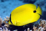 Yellow Butterflyfish Photographic Print by Georgette Douwma