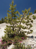 Lodgepole Pine (Pinus Contorta) Poster by Bob Gibbons