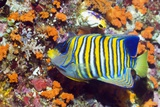Angelfish Feeding on Corals on a Reef Photographic Print by Georgette Douwma