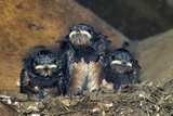 Swallow Chicks Prints by Georgette Douwma