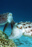 Broadclub Cuttlefish Laying Eggs Photographic Print by Georgette Douwma