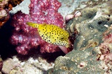 Yellow Boxfish Photographic Print by Georgette Douwma