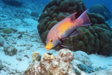 Spanish Hogfish Photographic Print by Georgette Douwma