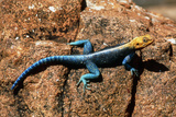 Agama Lizard Photographic Print by Georgette Douwma