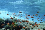 Lyretail Anthias And Corals Photographic Print by Georgette Douwma