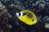 Racoon Butterflyfish on a Reef Photographic Print by Georgette Douwma