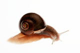 Snail Photographic Print by Mauro Fermariello