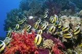 Red Sea Bannerfish And Soft Corals Photographic Print by Georgette Douwma