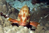 Coral Hind Grouper Poster by Georgette Douwma