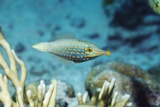 Longnose Filefish Photographic Print by Georgette Douwma