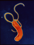 Helicobacter Pylori Bacteria Photographic Print by A.B. Dowsett