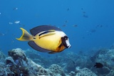 Pacific Mimic Surgeonfish Photographic Print by Georgette Douwma