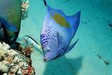 Yellowbar Angelfish Photographic Print by Georgette Douwma