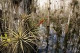 Bromeliad (Tillandsia Fasciculata) Poster by Bob Gibbons