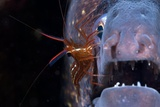 Cleaner Shrimp And Moray Eel Kunstdruck von Angel Fitor