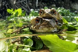 Common Toads Mating Photographic Print by Angel Fitor