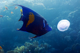 Yellowbar Angelfish Photographic Print by Georgette Douwma