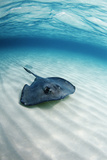 Southern Stingray Photographic Print by Georgette Douwma