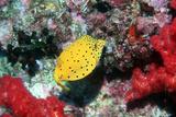 Yellow Boxfish Photographic Print by Georgette Douwma