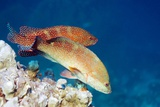 Coral Hind Grouper Prints by Georgette Douwma