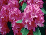 Rhododendron 'Cynthia' Photographic Print by Vaughan Fleming