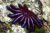 Crown-of-thorns Starfish Prints by Georgette Douwma