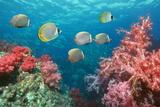 Butterflyfish Over Corals Reproduction photographique par Georgette Douwma