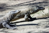 Komodo Dragons Papier Photo par Georgette Douwma