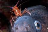 Cleaner Shrimp And Moray Eel Kunstdrucke von Angel Fitor